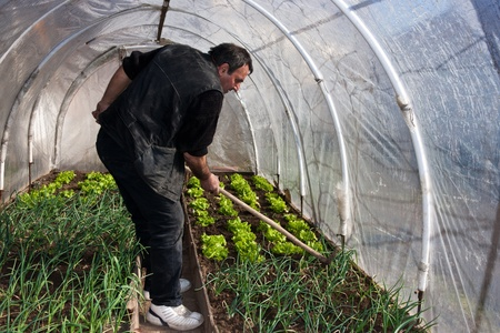 Man working in a real greenhouse. Lettuce and onion visible. Artistic selective focus. photo
