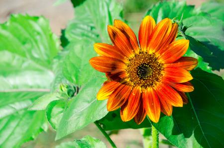 moment: vThe super peak of sunflower along day light.