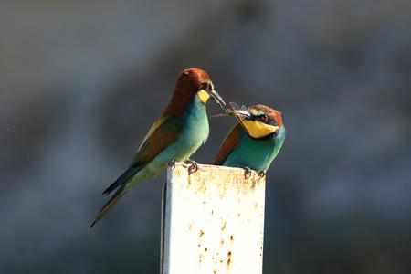 bee-eater Stock Photo