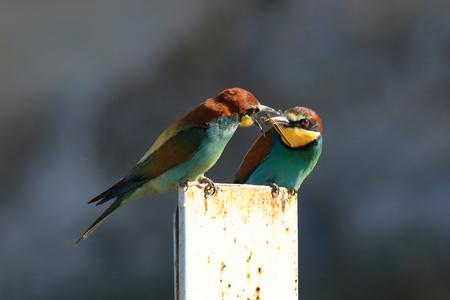 bee-eater birds closeup photo 写真素材