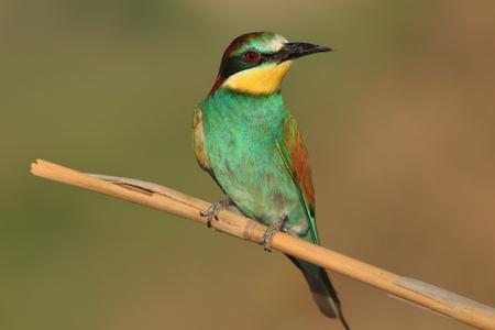 Bee Bird Stok Fotoğraf