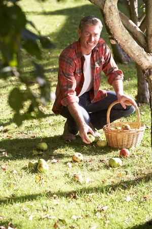 windfalls: Man collecting apples off the ground