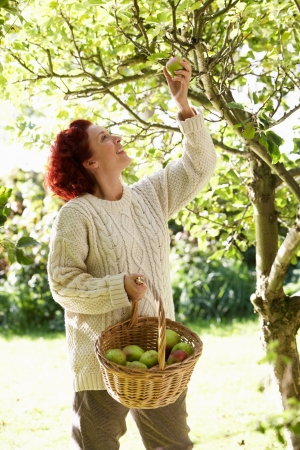 Woman picking apples off tree Stock Photo