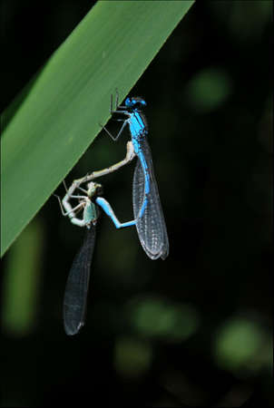 faisant l amour: a couple of dragonflies making love with each other Banque d'images