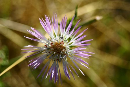 meadowland: Thistle