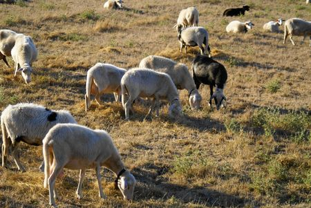 Herd of sheep Stock Photo - 7615930