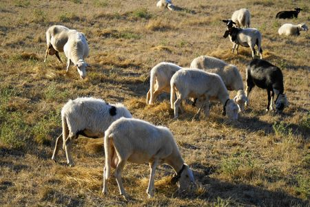 Herd of sheep Stock Photo - 7615931