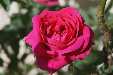 Hot pink rose Stock Photo
