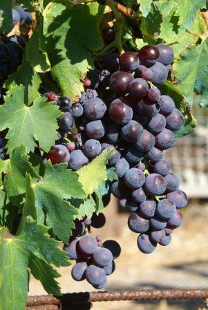 Dark blue grapes on vines Stock Photo