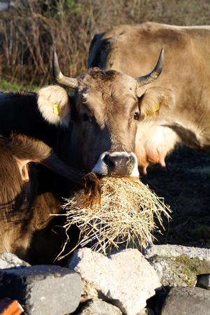 Cow eats Stock Photo