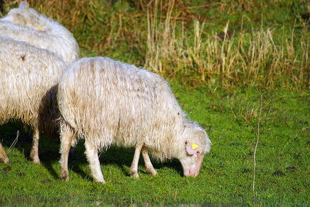 Sheep graze photo