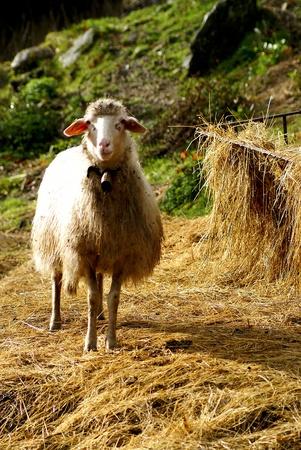 Sheep Stock Photo - 8764092