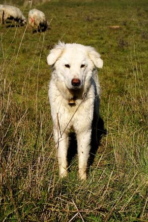 Maremma dog Stock Photo