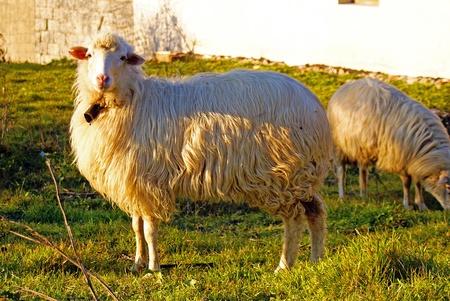 Sheep Stock Photo - 8896769