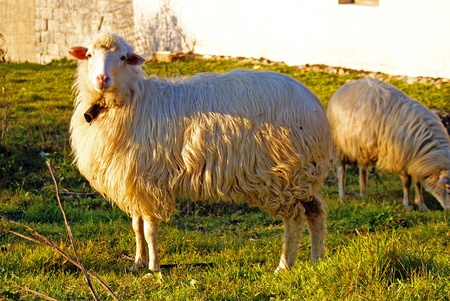 Sheep Stock Photo - 8896769