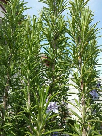 biberiye bitkisi Stock Photo