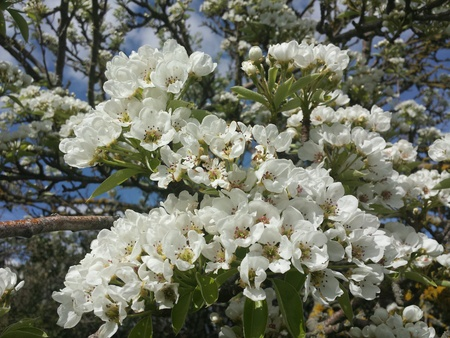 Tree with white flowers Stock Photo