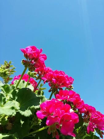 Sardunya bitki Stock Photo