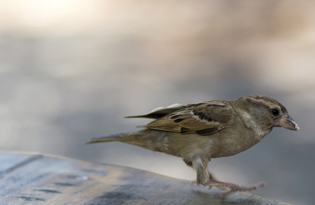 Brown sparrow starting to fly from a wooden desk with some nuts in mouth Stock Photo - 88545969