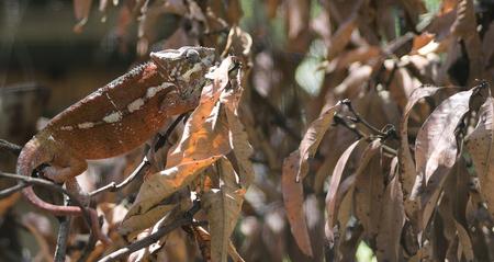 Chameleon on leaves adapting the leaf color