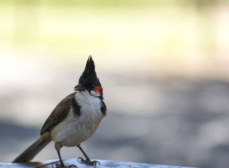 Red-whiskered Bulbul bird small bird with brown upperparts and whitish underparts sitting on wooden desk Stock Photo - 88545974