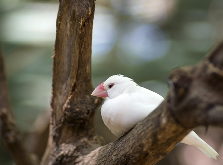 White java sparrow sitting in a tree bark
