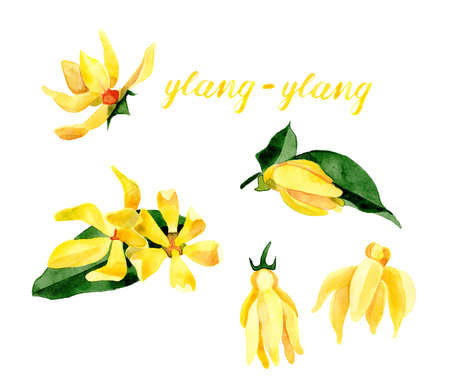 Hand drawn leaves and yellow flowers isolated on white background. Cananga odorata. Herbal medicine and aroma therapy.