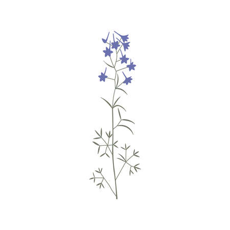 Vector color hand drawn illustration with Consolida regalis. Minimalist Flower and herb. Wildflower for design, tattoo, postcard