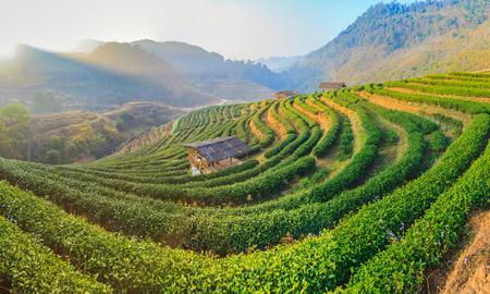 Tea farm cover with fog in morning, Doi Ang khang, Chiang mai, Thailand