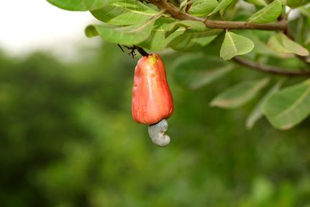 cashew tree: Closeup of single red cashew in the tree