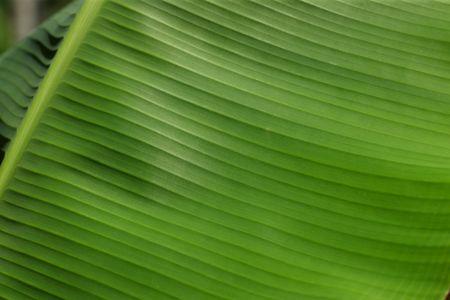 Closeup of Banana leaf photo