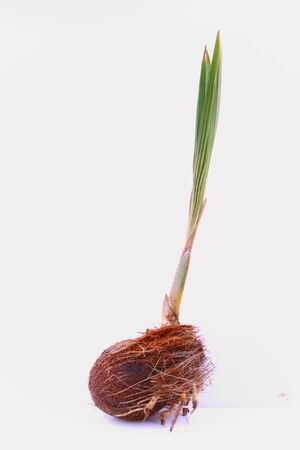 coconut seedlings:   coconut tree (young) isolated in white background