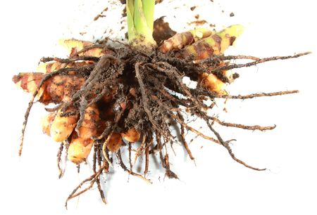 turmeric with root Stock Photo