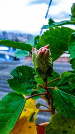 Hibiscus flower bud is just blooming in summer