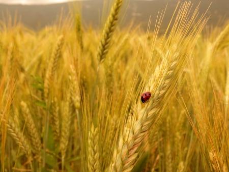 Ladybird on golden barley Stock Photo