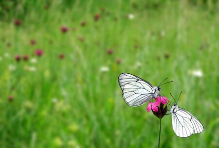 Two white butterflies on pink flower Stock Photo
