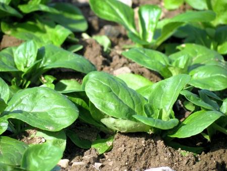 Corn salad growing in garden