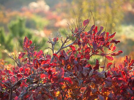 Red fence of smoke tree  Karst area  Mediterranean countries  Europe