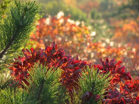 Pine tree and red smoke tree in Karst environment  Mediterranean countries  Europe  Stock Photo
