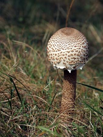 Young parasol mushroom  Macrolepiota procera