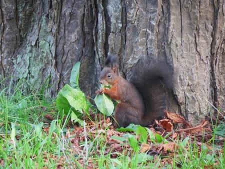 Squirrel eating vegetables