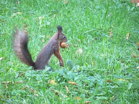 Squirrel with common wallnut