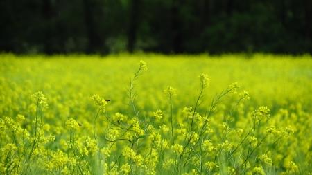Bees on Oilseed Rape Stock Photo