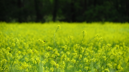 oilseed: Bees on Oilseed Rape Stock Photo