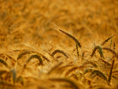 Above the others - golden wheat - landscape photo