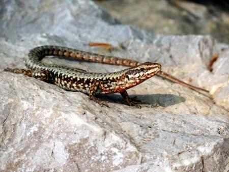aciculum: Podarcis muralis - common wall lizard Stock Photo