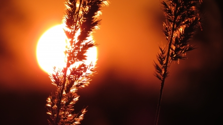 Sky, sunset, reeds swaying in breeze photo