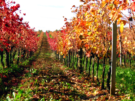 Carst terrano vineyard lines in autumn colors - panoramic view