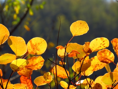 Golden cotinus fence against sunset