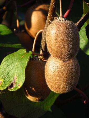 actinidia deliciosa: Kiwi plant - Actinidia deliciosa